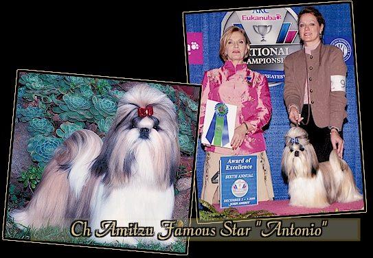 "CH Amitzu Famous Star ""Antonio"""